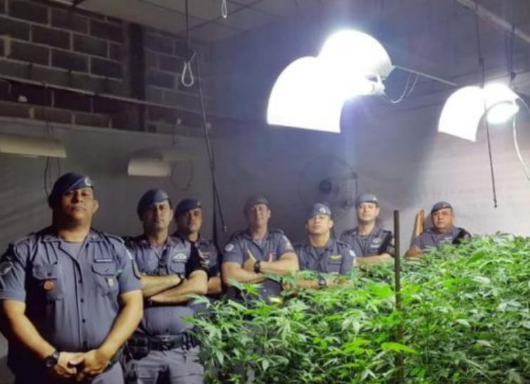 Força Tática descobre grande plantação de maconha em Ibiúna
